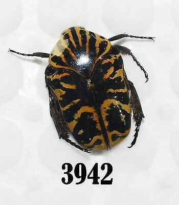 Beetle Coleoptera. From Mexico # 3942