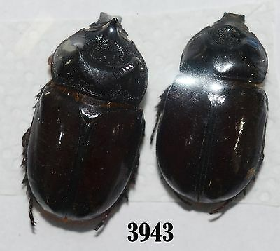 Beetle Coleoptera. From Mexico # 3943
