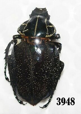 Beetle Coleoptera. From Mexico # 3948