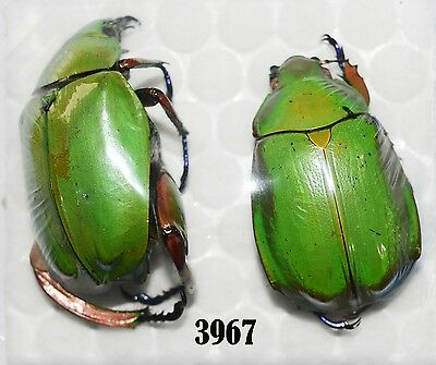 Beetle Coleoptera. From Mexico # 3967