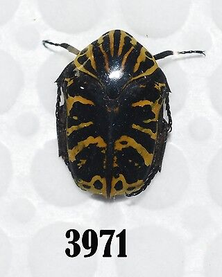 Beetle Coleoptera. From Mexico # 3971