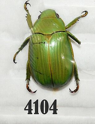 INSECT Beetle Coleoptera. From Mexico #4104