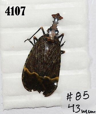INSECT Beetle Coleoptera. From Mexico #4107