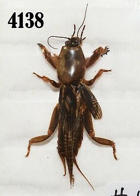 INSECT Beetle Coleoptera. From Mexico #4138