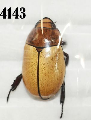 INSECT Beetle Coleoptera. From Mexico #4143