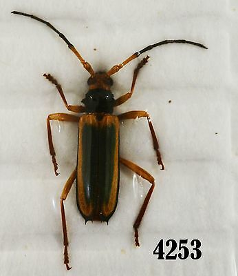 INSECT Beetle Coleoptera. From Mexico #4253