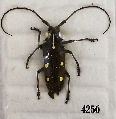 INSECT Beetle Coleoptera. From Mexico #4256