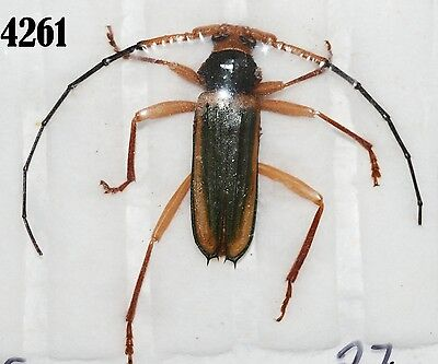 INSECT Beetle Coleoptera. From Mexico #4261
