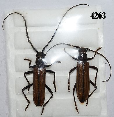 INSECT Beetle Coleoptera. From Mexico #4263
