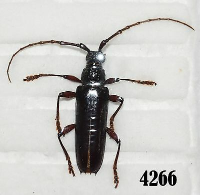 INSECT Beetle Coleoptera. From Mexico #4266