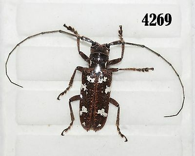 INSECT Beetle Coleoptera. From Mexico #4269
