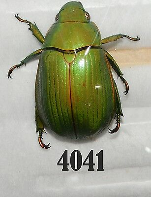 Beetle Coleoptera. From Mexico # 4041