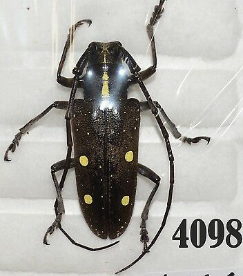Beetle Coleoptera. From Mexico # 4098