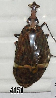 Beetle Coleoptera. From Mexico # 4151