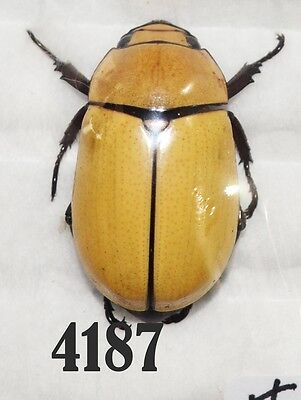 Beetle Coleoptera. From Mexico # 4187
