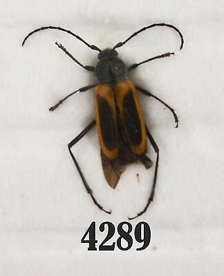 Beetle Coleoptera. From Mexico # 4289
