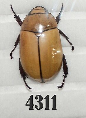 Beetle Coleoptera. From Mexico # 4311