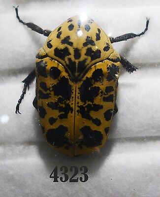 Beetle Coleoptera. From Mexico # 4323