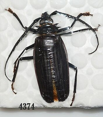 Beetle Coleoptera.  From Mexico # 4374
