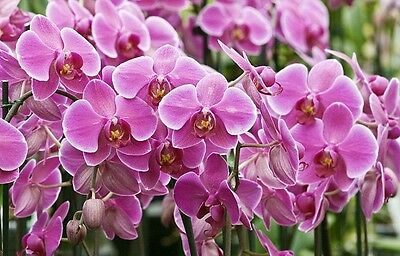 100PCs Moth Orchids Flower Seeds Orchid Plant Garden Home Mix