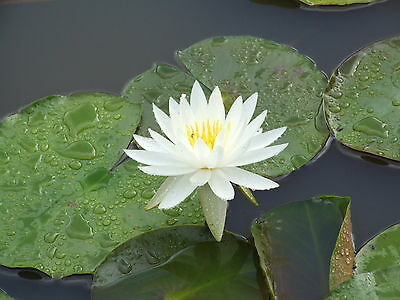 Water Lily Plant - Virginia - White Flowers Hardy For Dams & Big Ponds