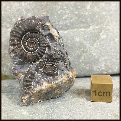 Promicroceras marstonense Ammonite Fossil from UK - Jurassic Period - FSE099