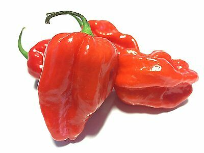 Liveseeds - Komodo Dragon Chilli 10 SEEDS