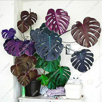 100 pcs Palm Tree Turtle Leaves Monstera Seeds, Bonsai Angiosperms, Mixed