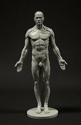 Male Anatomy Figure: 11-inch Anatomical Reference for Artists Grey