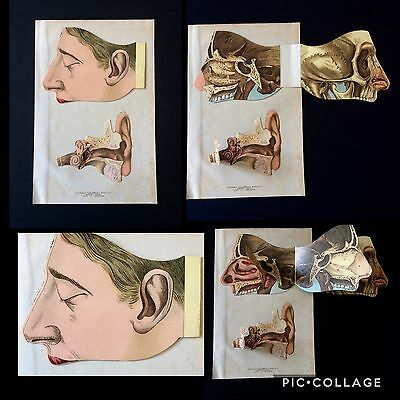 Antique 1890s Medical HEAD Dissection EAR German Anatomy Fold Out Bookplate