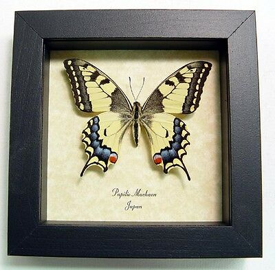 Real Framed Papilio Machaon Female Old World Swallowtail Butterfly 498F