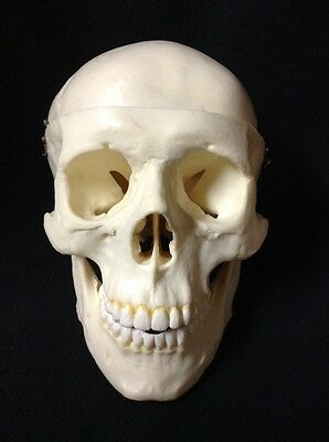 Plastic Human Skull Anatomical Model, 3 part
