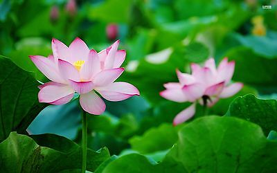 Liveseeds - Bonsai Lotus/ Bowl Pond Lotus/Water lily flower/Pink Morning 5 Seeds