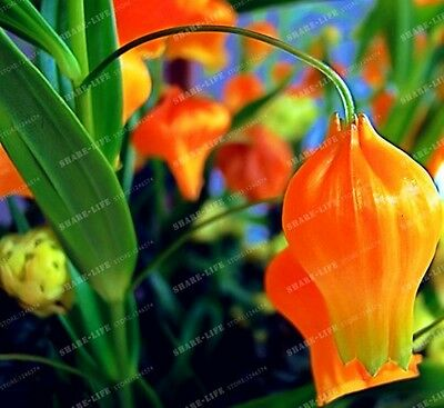 2pcs LanternLily Bulbs (Not Lily Seeds) Flower Indoor Plant Radiation