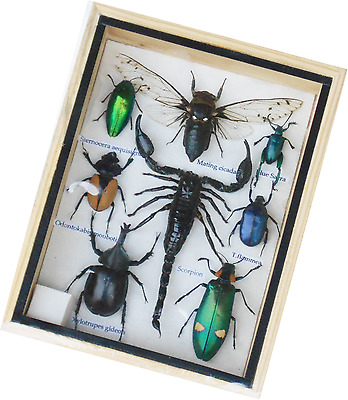 Real Mixed Beetle Cicada Scorpion Insect Boxed Framed Taxidermy Display Wood Box