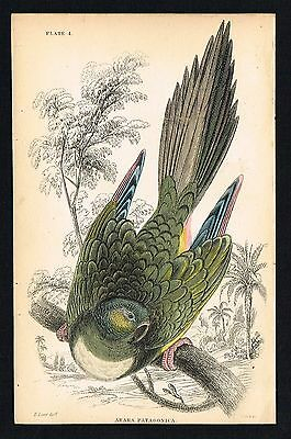 1836 Antique Print - Patagonian Conure Burrowing Parrot, Hand-Colored Engraving