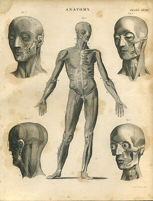 Antique print ANATOMY MUSCLES copper plate engraving - 1842 - M2