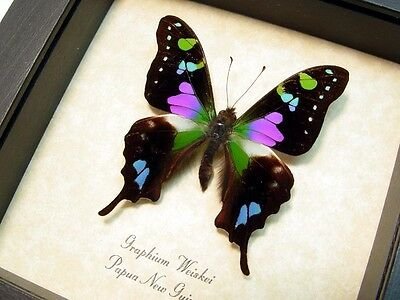 Real Framed Graphium Weiskei Purple Spotted Swallowtail 229