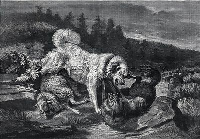 Dog Great Pyrenees Guardian Fights Off Wolf, Large 1870s Antique Engraving Print