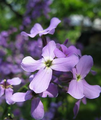 0.5g (approx. 750) night - scented stock seeds MATTHIOLA BICORNIS very fragrant