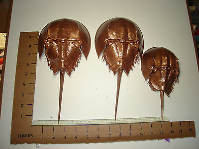 3 HORSESHOE CRABS-Natural SHELL MOLT-Fl Marine Life -Painted Hammered Brz.-033