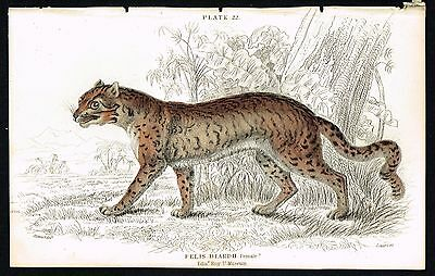 1834 Antique Engraving- Sunda Clouded Leopard Wild Cat Female, Hand-Colored