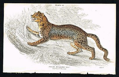 1834 Sunda Clouded Leopard, Male, Hand-Colored Antique Engraving - Jardine