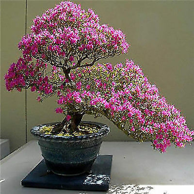 Sakura Seeds Growing Bonsai Tree Japanese Bonsai Chinese Home garden Gift girl