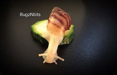 Giant African Land snails (albino) Babies FREE POSTAGE AND CUTTLEFISH