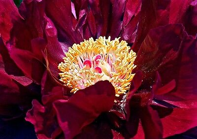 RED HARDY TREE PEONY Paeonia Delavayi HUGE FLOWERS! Two Meteres Tall! 3 Seeds