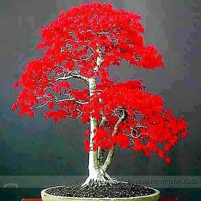 Japanese red maple seeds, bonsai tree, Japanese bonsai Bonsai seeds Bonsai maple