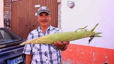 300 SEEDS GIANT PERUVIAN WHITE MAIZE Corn- World's Largest- Sole Source-RARE