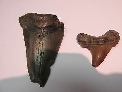 """Lot Of Fossilized Shark Teeth Must SEE No Reserve 2"""" x 1 3/8"""""""
