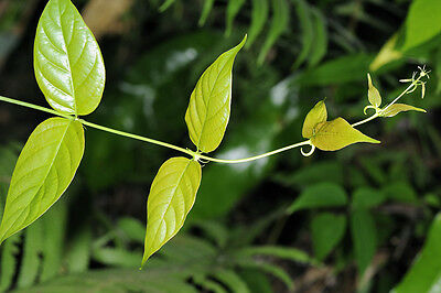 100 Uncaria rhynchophylla Seeds ,Chinese Cat's Claw Seeds.Fish hook vine Seeds
